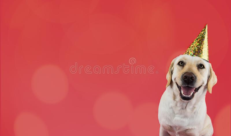 FUNNY DOG BIRTHDAY OR NEW YEAR PARTY HAT. HAPPY LABRADOR BANNER ISOLATED ON CORAL COLORED BACKGROUND.  royalty free stock photos
