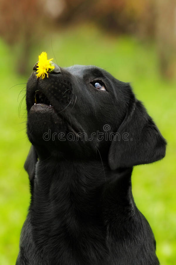 Funny dog black Labrador puppy holds on the nose dandelion flower and looks at it. Classes in circus training. Smart pet royalty free stock photography