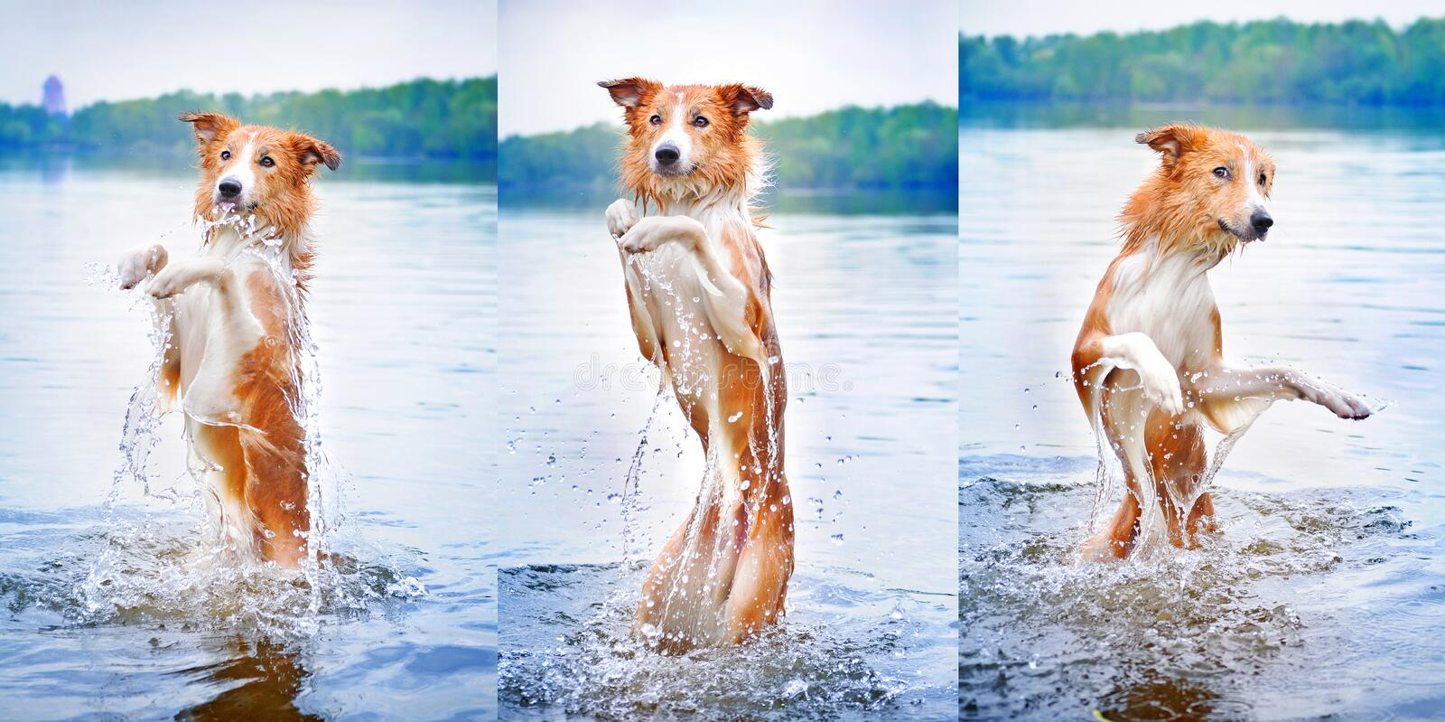 Funny dog border collie dance. Into the water royalty free stock image