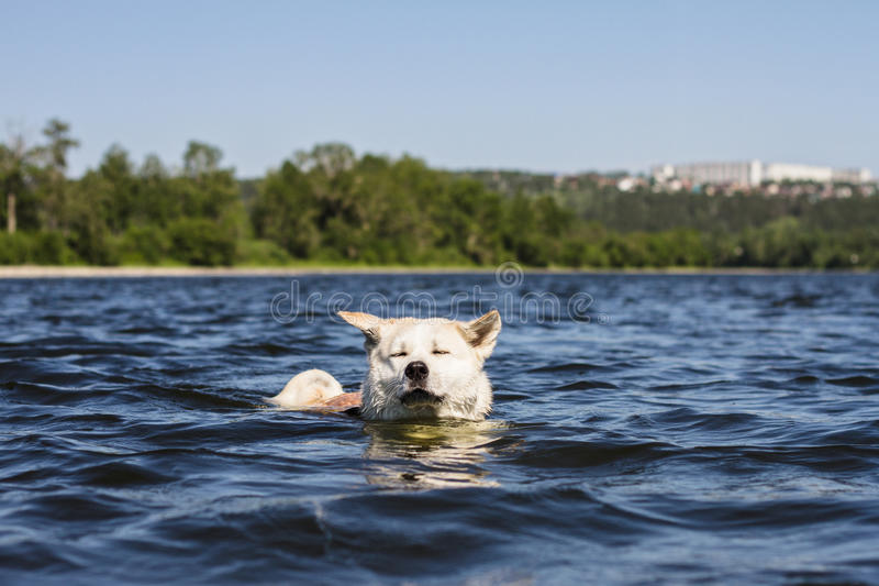 Funny dog of breeds Japanese Akita inu sails with closed eyes and ears in different directions in a beautiful river on the natural. Funny dog of breeds Japanese royalty free stock photo