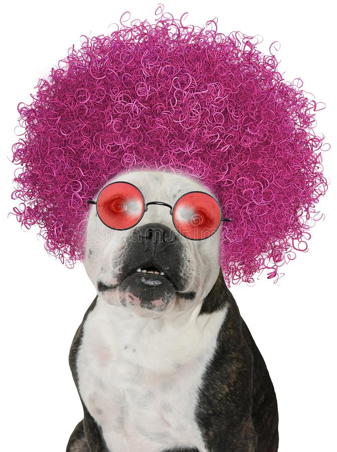 Funny Dog, Bulldog Afro, Isolated. A funny hippie bulldog has a big hairy pink Afro for hair. Rose colored sunglasses adds to the humor from the sixties stock photos
