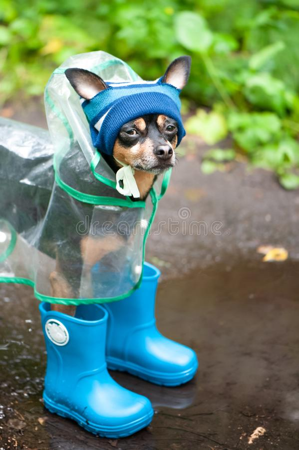 Funny dog in a cap and rubber boots standing in a puddle on a forest path, the theme of rainy. Weather royalty free stock image