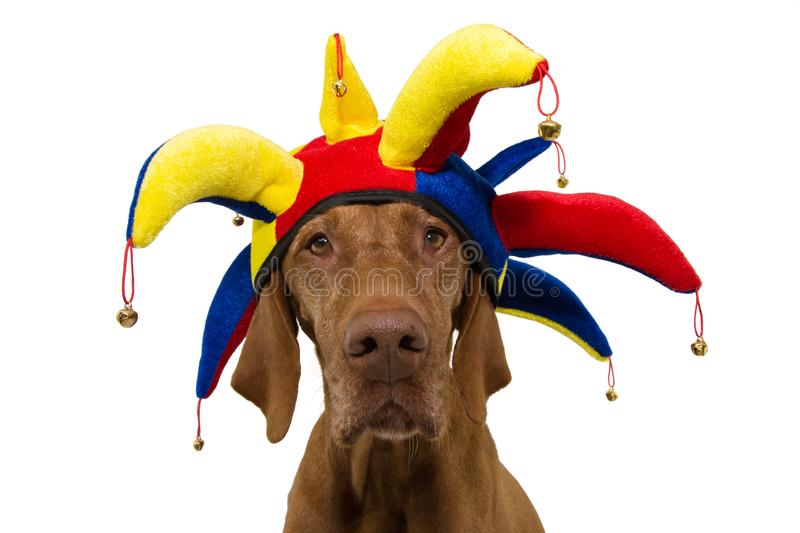 Funny dog carnival, halloween, or new year dressed as a clown. isolated on white background royalty free stock photo