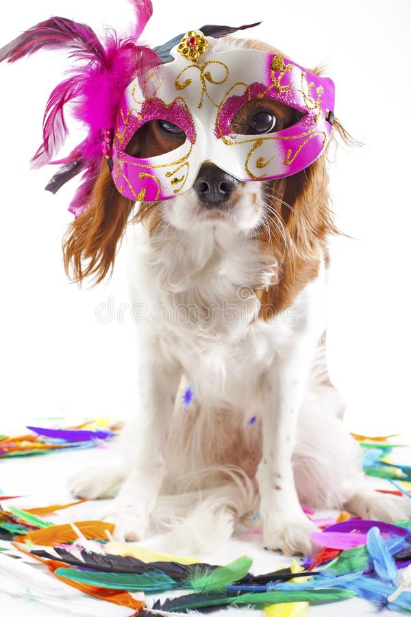 Funny dog in carnival mask.. Party dog in studio. Cavalier king charles spaniel dog with colorful feathers purple mask royalty free stock images