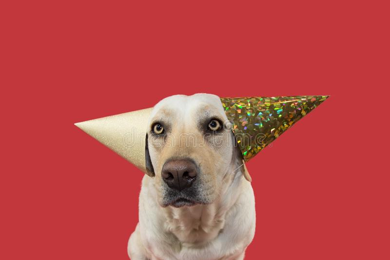 FUNNY DOG CELEBRATING A BIRTHDAY OR NEW YEAR PARTY. WEARING TWO GLITTER GOLDEN HAT. ISOLATED SHOT AGAINST CORAL BACKGROUND. FUNNY DOG CELEBRATING A BIRTHDAY stock photos