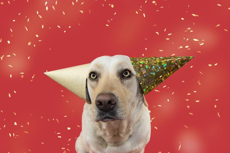 FUNNY DOG CELEBRATING A BIRTHDAY, CARNIVAL, MARDI GRAS OR NEW YEAR PARTY. WEARING TWO GLITTER GOLDEN HAT. ISOLATED SHOT AGAINST. CORAL BACKGROUND WITH FALLING stock image