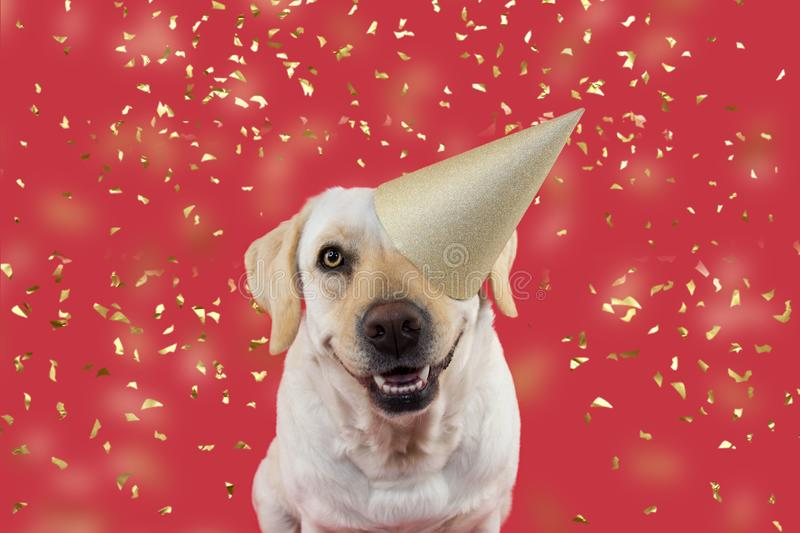 FUNNY DOG CELEBRATING A BIRTHDAY OR NEW YEAR PARTY. WEARING A GLITTER GOLDEN HAT. ISOLATED SHOT AGAINST CORAL BACKGROUND WITH. CONFETTI FALLING. STUDIO SHOT stock image