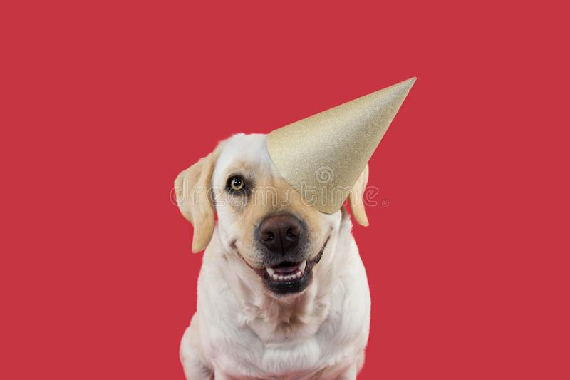 DOG CELEBRATING A BIRTHDAY OR NEW YEAR PARTY. WEARING A GLITTER GOLDEN HAT. ISOLATED SHOT AGAINST CORAL BACKGROUND. STUDIO SHOT. FUNNY DOG CELEBRATING A BIRTHDAY stock photos