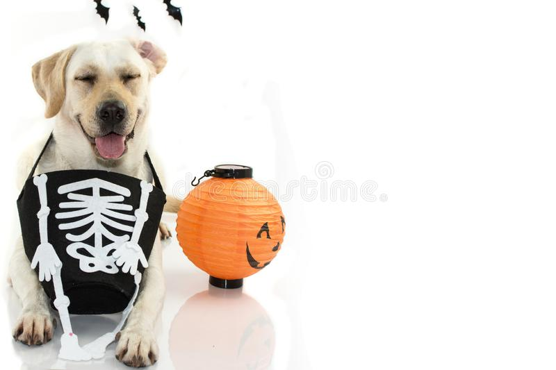 FUNNY DOG CELEBRATING HALLOWEEN WITH A SKULL BAG LIKE COSTUME A royalty free stock photography