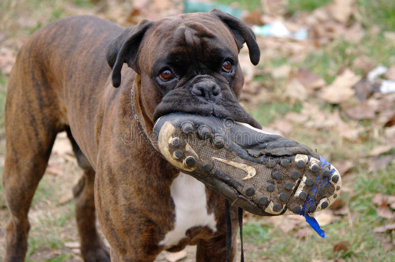 Funny dog chewing on a football shoe. Funny boxer dog chewing on a football shoe royalty free stock image
