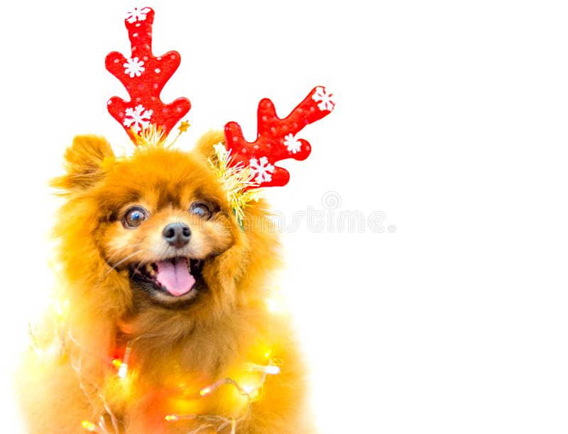 Funny dog with christmas decoration isolated. A funny dog with christmas decoration isolated royalty free stock photography