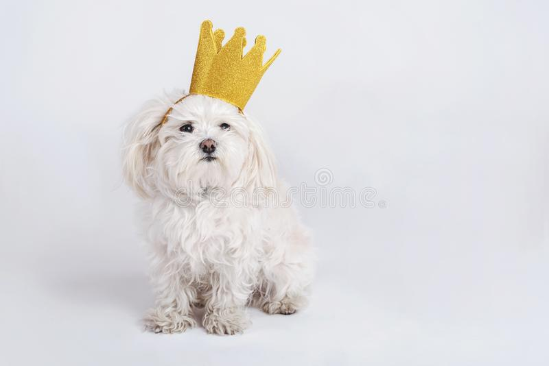 Funny dog with crown. On white background royalty free stock photography