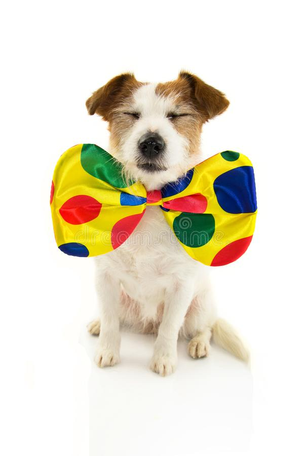 FUNNY DOG DRESSED AS A CLOWN FOR CARNIVAL OR HALLOWEEN. ISOLATED SHOT ON WHITE BACKGROUND royalty free stock photos