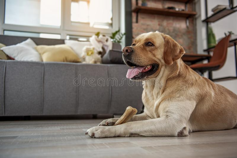 Funny dog eating appetizing treat royalty free stock photo