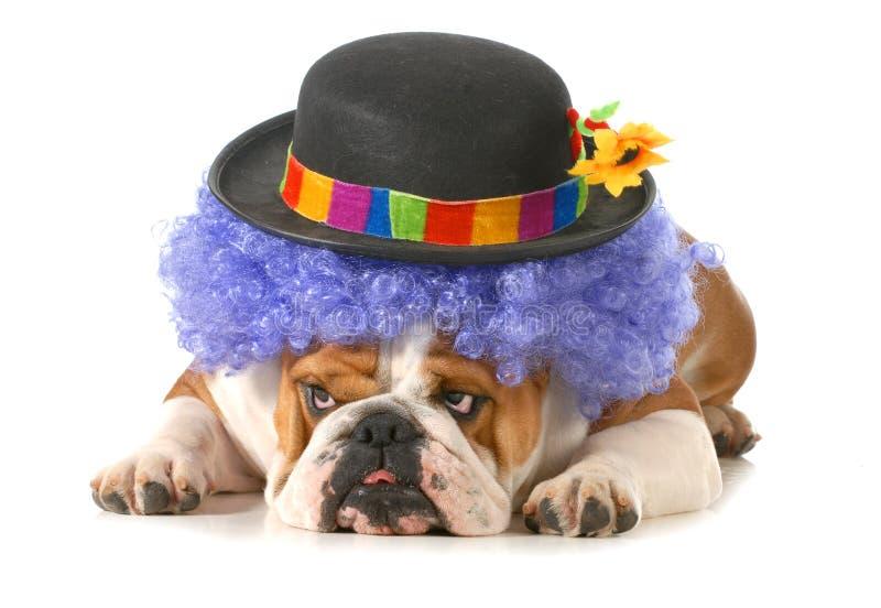 Funny dog. English bulldog dressed up like a clown isolated on white background stock image