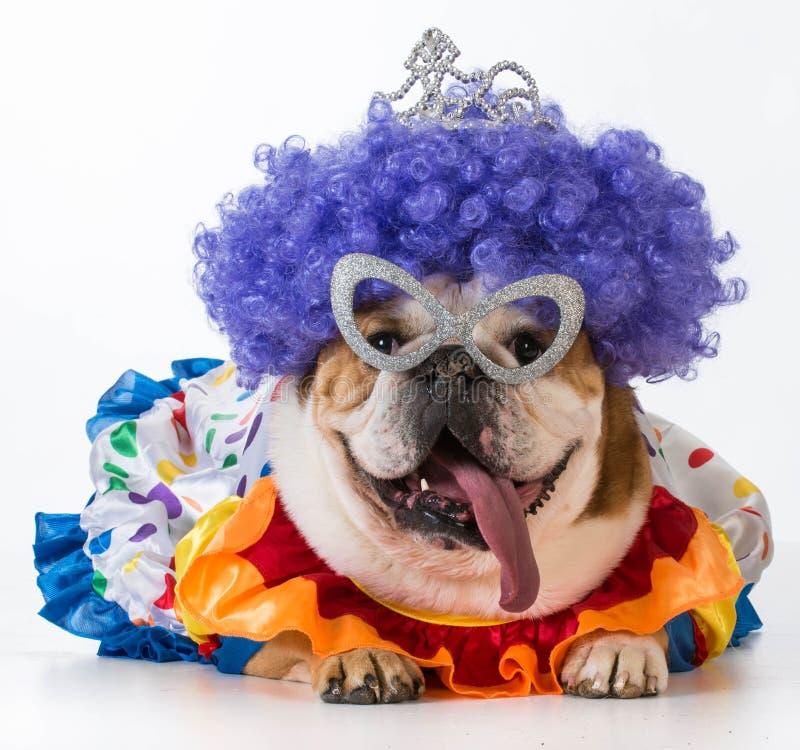 Funny dog. English bulldog dressed up like a clown on white background royalty free stock photography