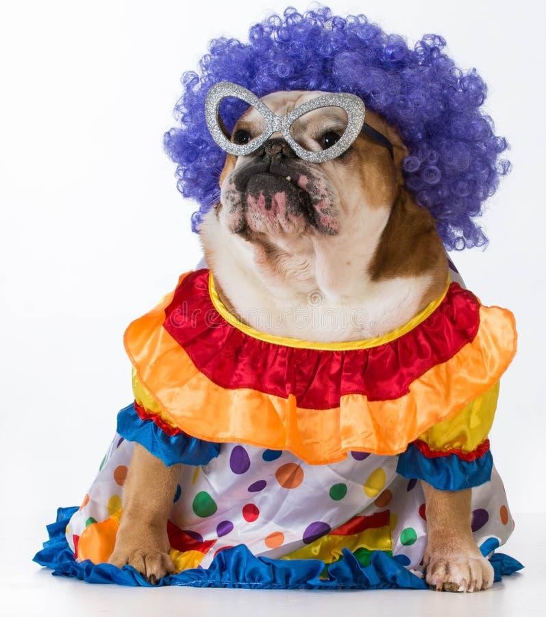 Funny dog. English bulldog dressed up like a clown on white background stock photo