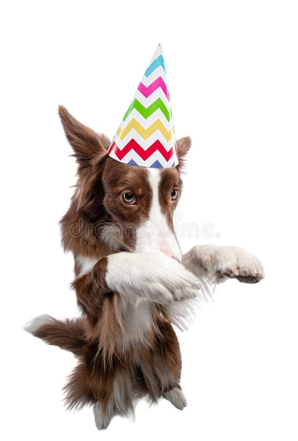 Dog in a festive cap. Border Collie on a white background stock photos