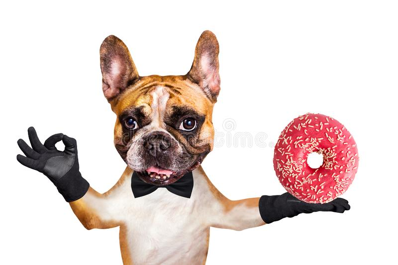 Funny dog ginger french bulldog waiter in a black bow tie hold a donut and show a sign approx. Animal isolated on white background royalty free stock images