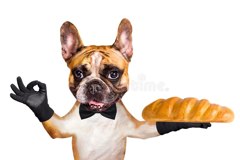 Funny dog ginger french bulldog waiter in a black bow tie hold a loaf in the bakery and show a sign approx. Animal isolated on royalty free stock images
