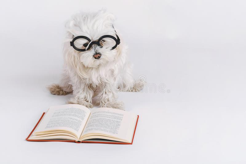 Funny dog with glasses and a book stock photography
