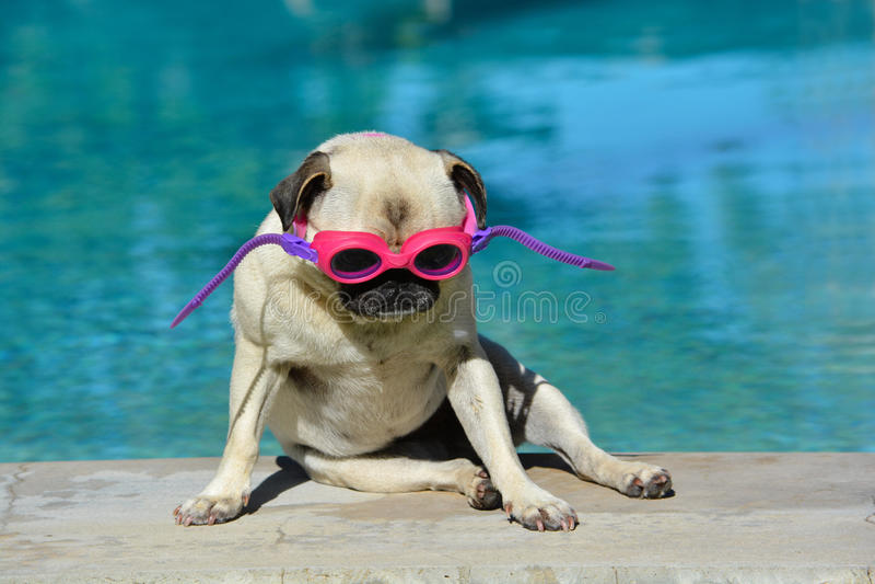 Pug dog with goggles