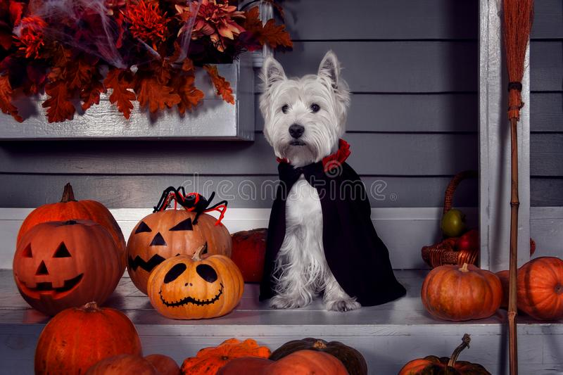 Funny dog in Halloween costume and pumkins. Funny west highland white terrier dog in scary halloween costume and black Dracula cloak sitting outdoor with royalty free stock image