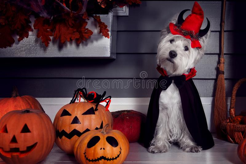 Funny dog in Halloween costume and pumkins royalty free stock photography