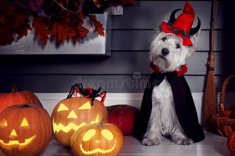 Funny dog in Halloween costume and pumkins. Funny west highland white terrier dog in scary halloween costume and red hat with devil horns sitting outdoor with royalty free stock photos