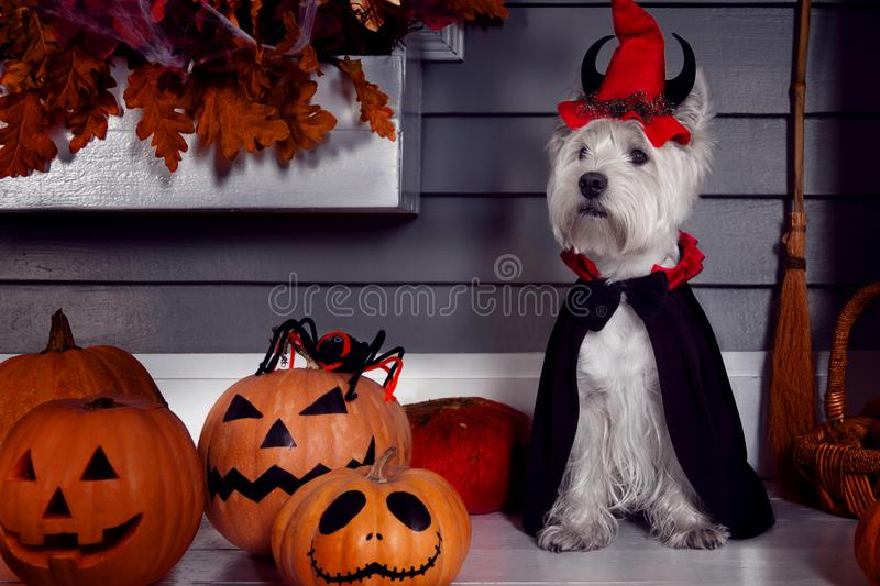 Funny dog in Halloween costume and pumkins. Funny west highland white terrier dog in scary halloween costume and red hat with devil horns sitting outdoor with stock photography