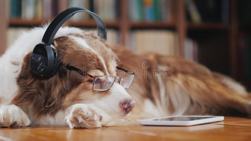A funny dog in headphones, lies on the floor near the tablet. Devices and animals royalty free stock photos