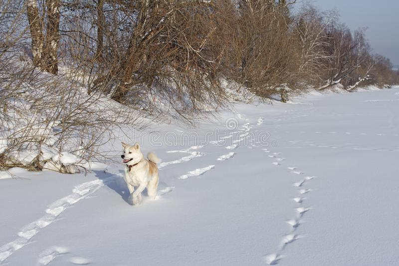 Funny dog Japanese Akita Inu runs through the snow leaving traces in the field in winter by the countryside. stock photography