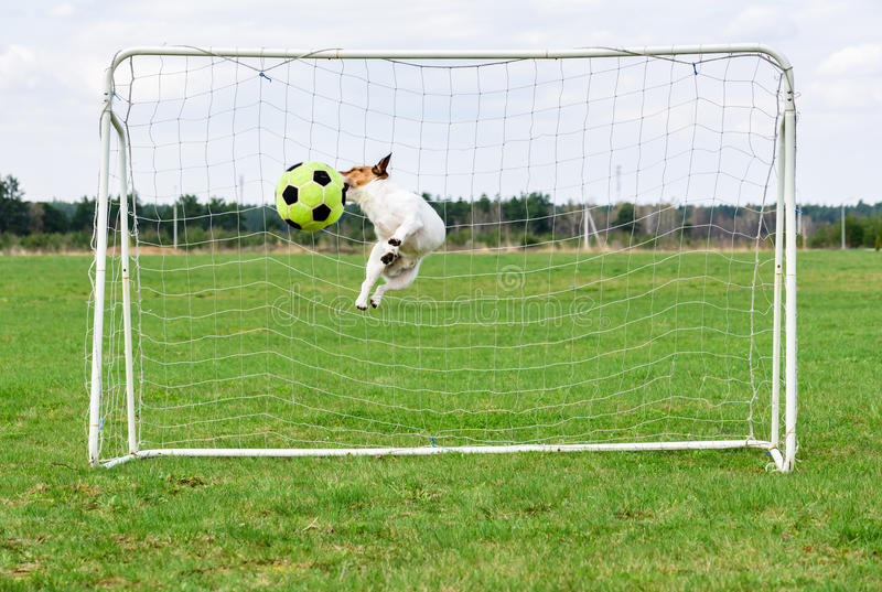 Funny dog jumping and catching football ball at goal royalty free stock photography