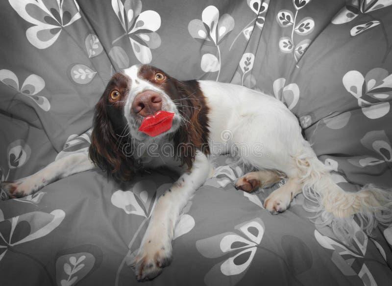 Funny dog kiss royalty free stock photos