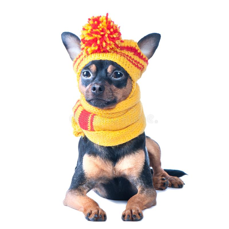 Funny dog in a knitted cap and scarf, portrait of a macro isolated. Autumn, winter, clothes for dogs. stock photography
