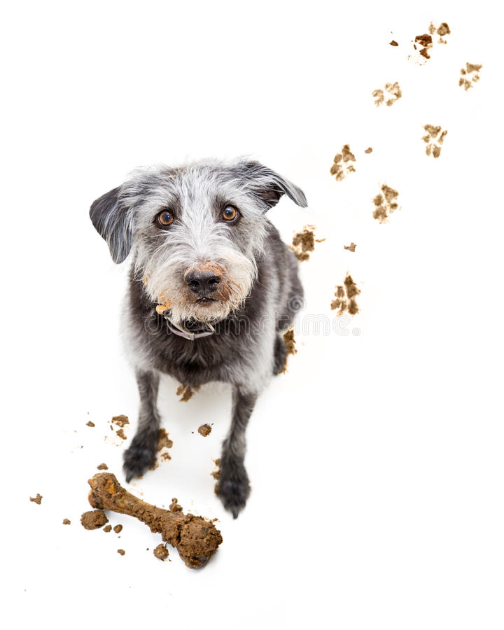 Funny Dog With Muddy Face stock images