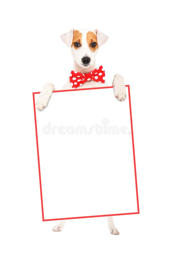 Funny dog Parson Russell Terrier in a bow tie, standing with a banner stock image