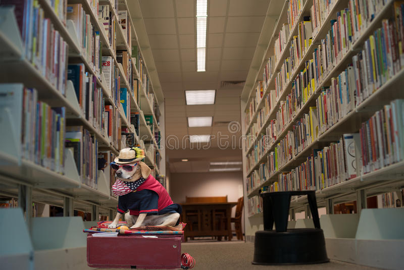 Funny dog pet in costume in the library. Funny dog pet in costume in public library. A dog wearing glasses and American costume surrounded by books