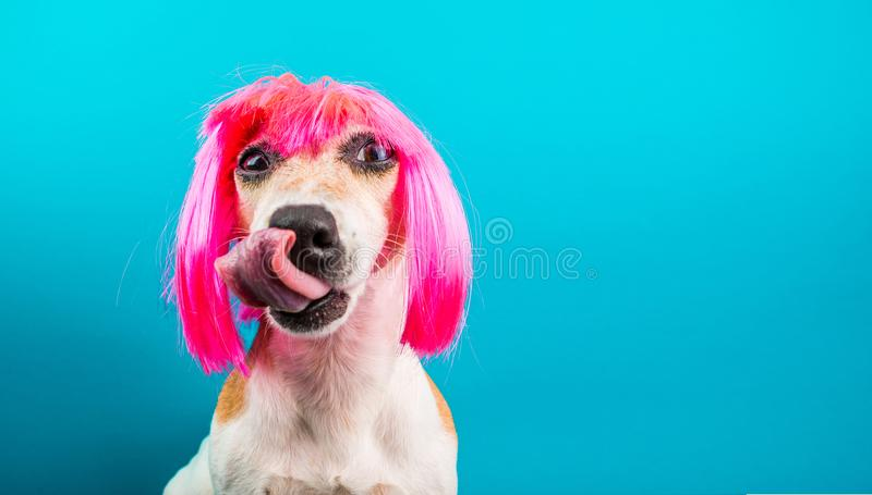 Funny dog in pink wig. waiting for a delicious meal foog licking. Blue background stock photo