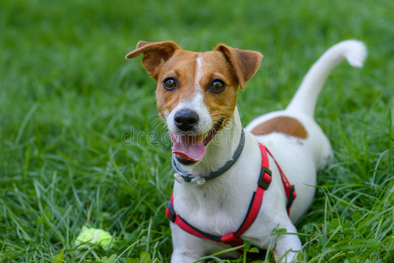 Funny dog with playful face expression lying on green grass. Jack Russell Terrier with harness and anti-flea and tick collar stock image