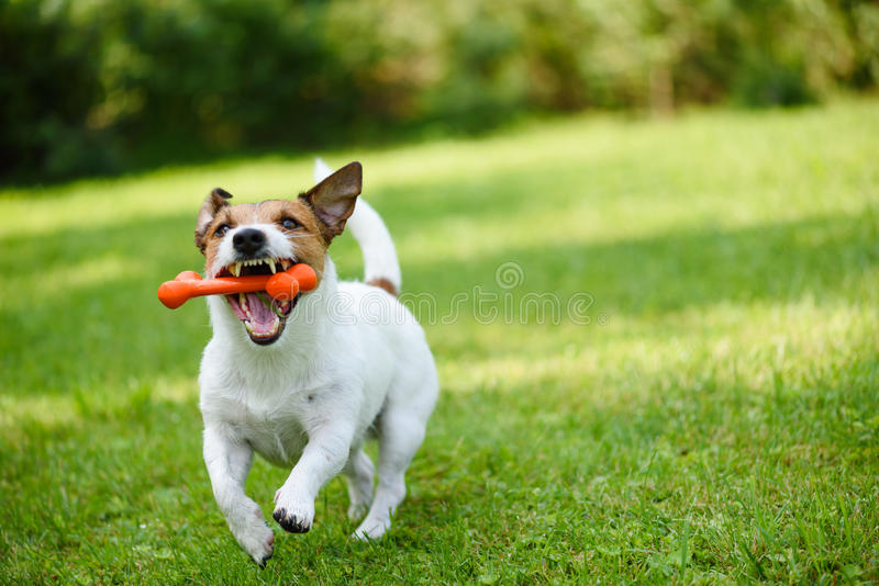 Funny dog playing with rubber toy bone in jaws stock images