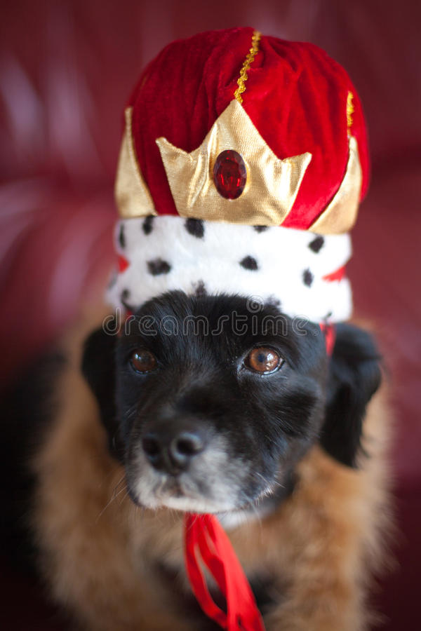 Download Funny Dog Portrait stock image. Image of queen, cocker - 24076987