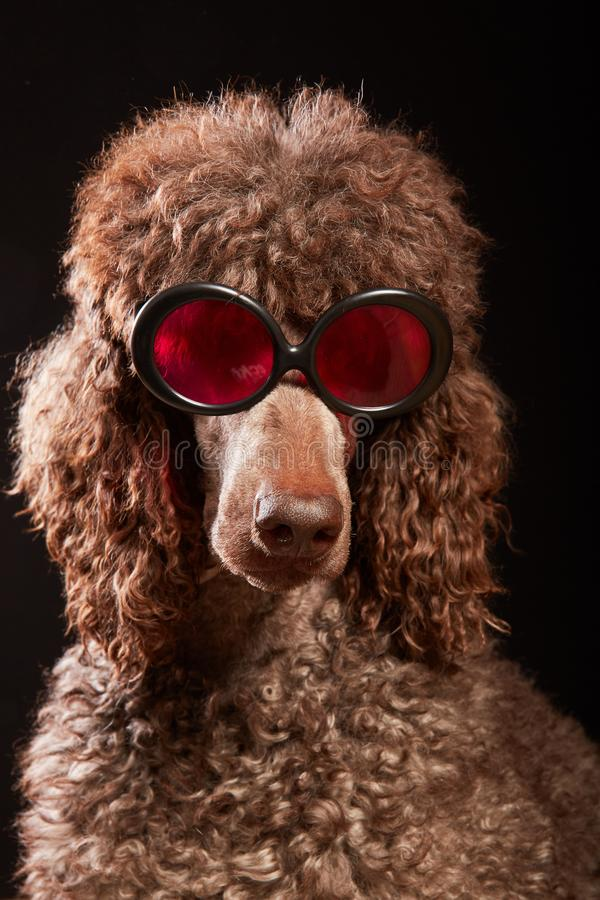 Funny dog portrait with glasses stock photo