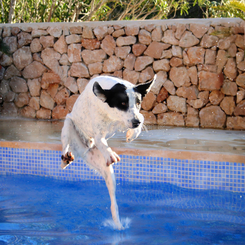 Free Funny Dog Portrait, Pool Jump Stock Photography - 2586532