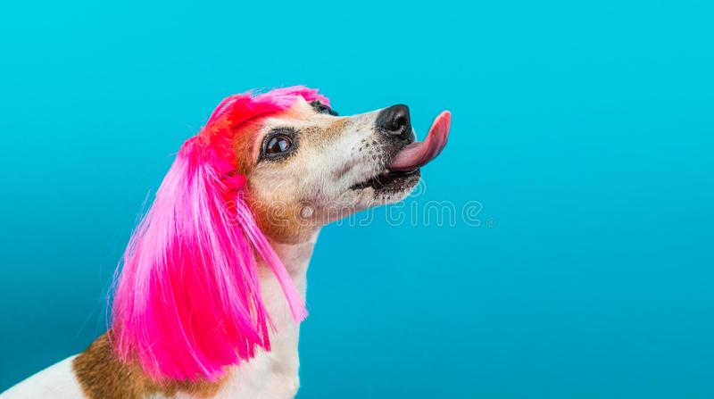 Funny dog profile in pink wig on blue background licking. royalty free stock images