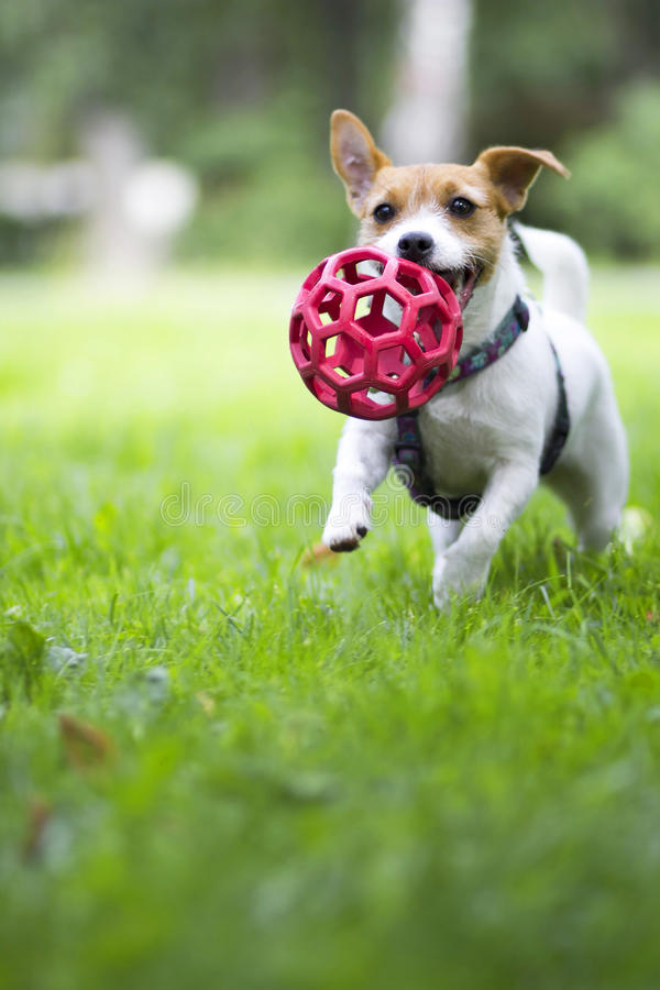 Funny dog running on the green grass with the ball. royalty free stock image