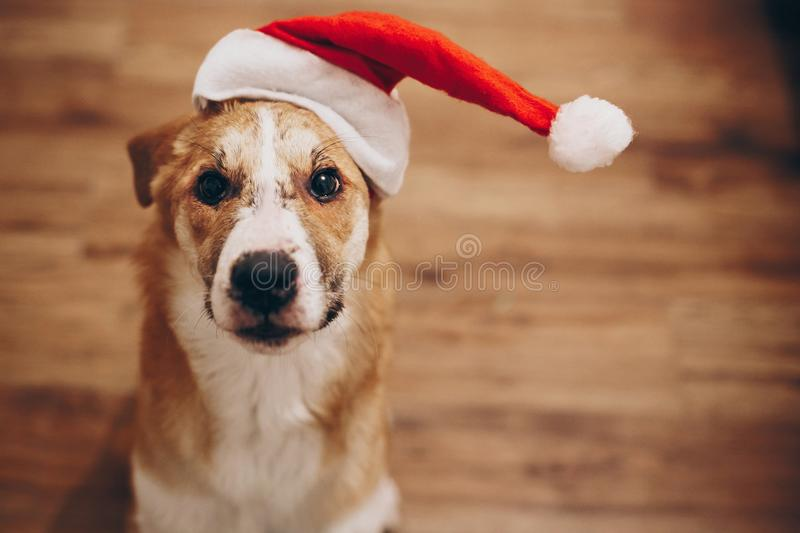 funny dog in santa hat. merry christmas and happy new year concept. space for text. cute surprised brown dog in red hat sitting i stock image
