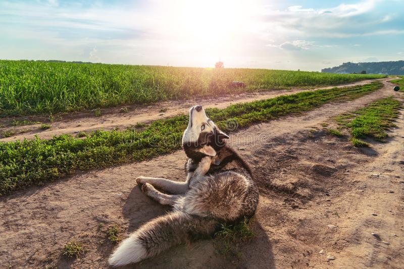 Funny dog scratches his ear. Husky dog ridiculously stretches neck to comb ear with his paw. Concept of itching in ear. Funny dog scratches his ear. Husky dog stock photo