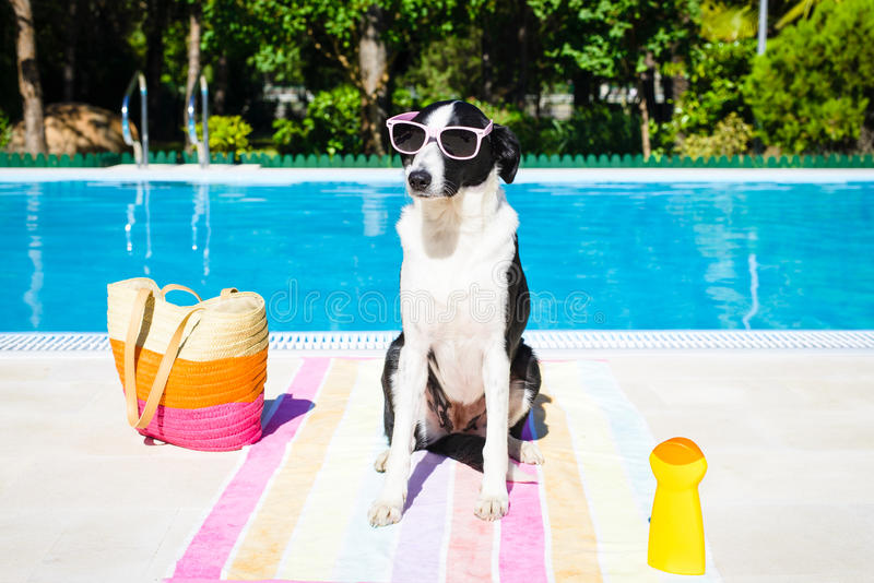 Funny dog on summer vacation at swimming pool. Funny dog wearing sunglasses on summer vacation at swimming pool royalty free stock images