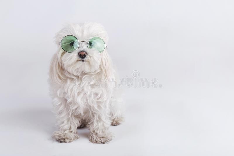 Funny dog with sunglasses. On white background stock images